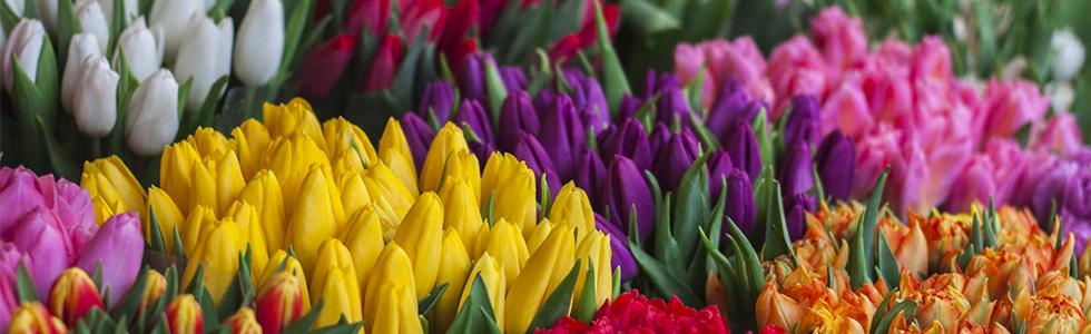 cuidar tulipanes